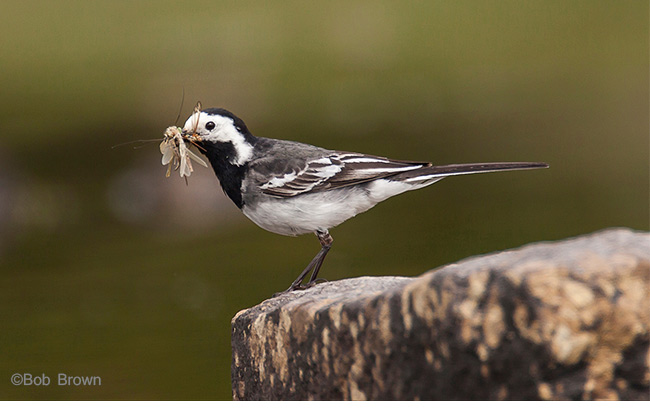 This lovely shot of a Pied Wagtail by Bob Brown illustrates how good bokeh is favoured in a nature shot, picking out the subject clearly.