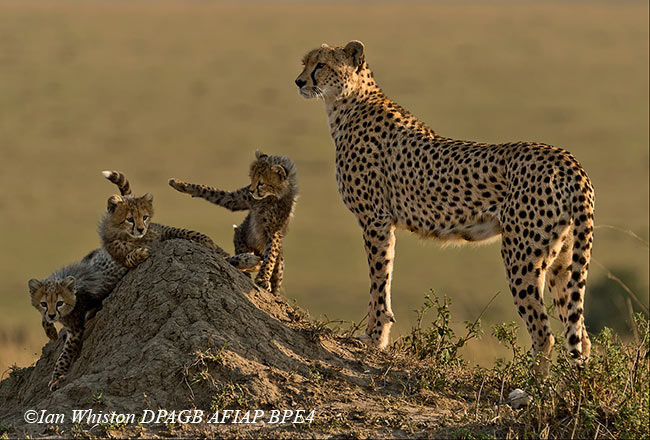 1_Cheetah-Watching-Over-CubIan-Wistonweb