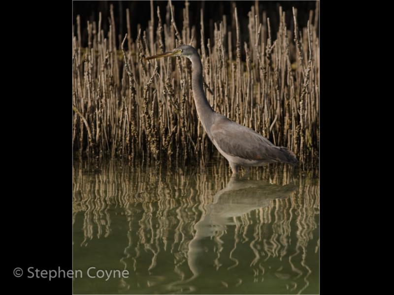 Stephen Coyne – 4_Hunting Reef Heron_N_38-2