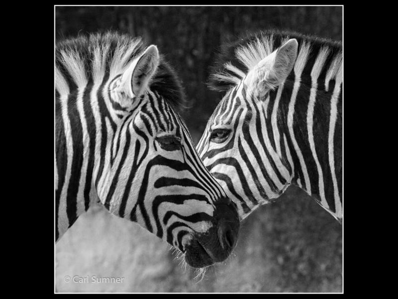 Carl Sumner – 2_Zebra Crossing_M_42