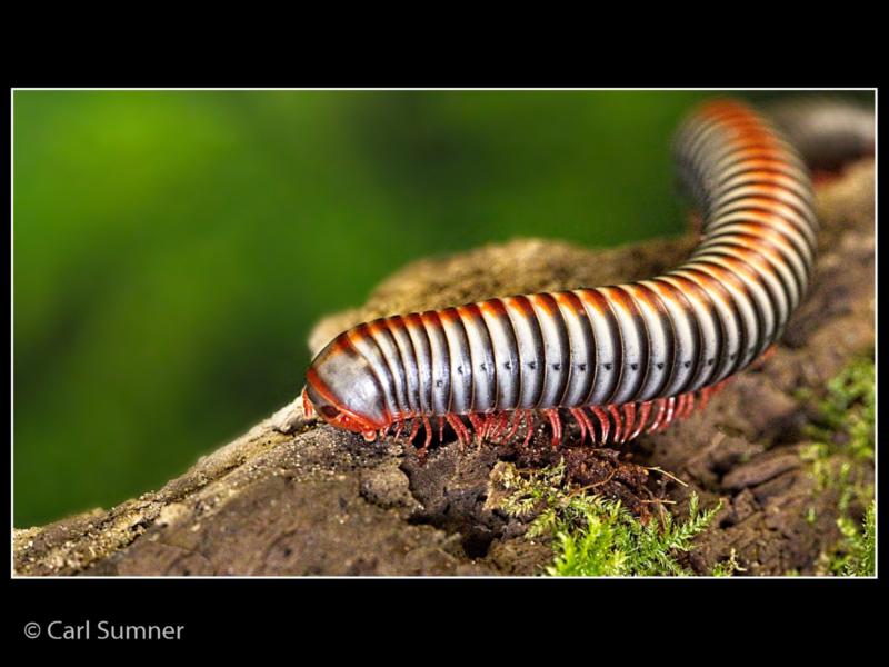Carl Sumner – Giant Millipede-2