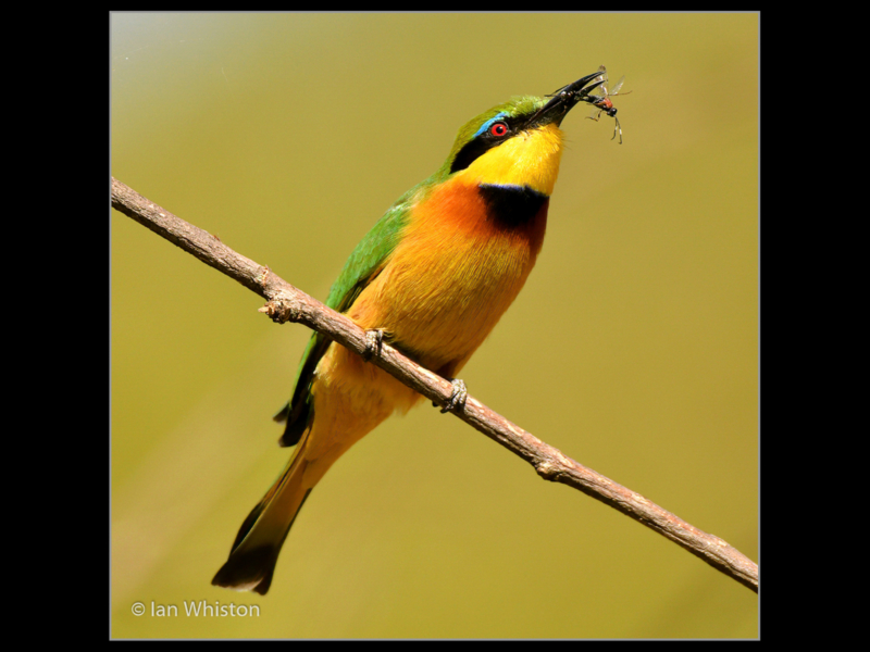 Ian Whiston_Little Bee Eater with Ant_N-2