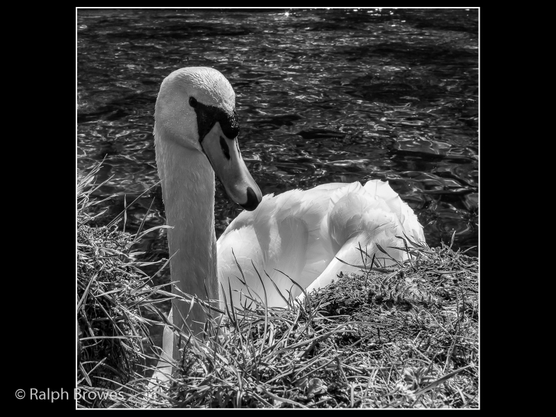 Ralph Browes – Mute Swan on the Lathkill-2