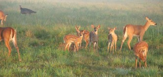 Fawns at CREW