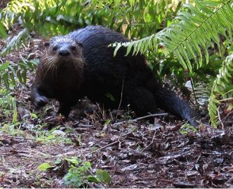 otter at Bird Rookery Swamp