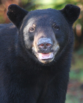 A Florida Black Bear looks, listens, and sniffs the air. By Dick Brewer