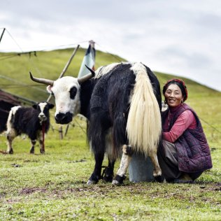 Una mujer khampa ordeña una vaca en Kham, una región histórica que abarca una zona dividida entre la actual Región autónoma de Tíbet y Sichuan, en China. Kham está habitada por más de 14 grupos étnicos cultural y lingüísticamente distintos. Los khampa presumen de ser guerreros reconocidos por ser excelentes jinetes y tener una gran puntería. GEFFROY YANNICK SURVIVAL INTERNATIONAL