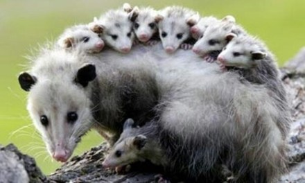 Lessons from an Opossum