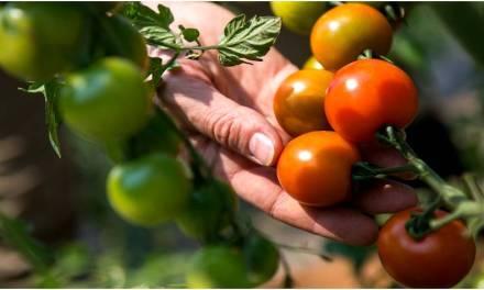 Criptocultivan tomates con el calor producido por equipos de minería