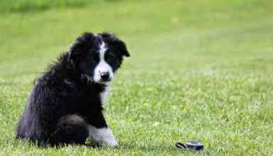training border collie to sit