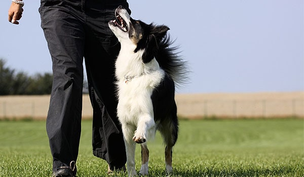 border collie obedience training