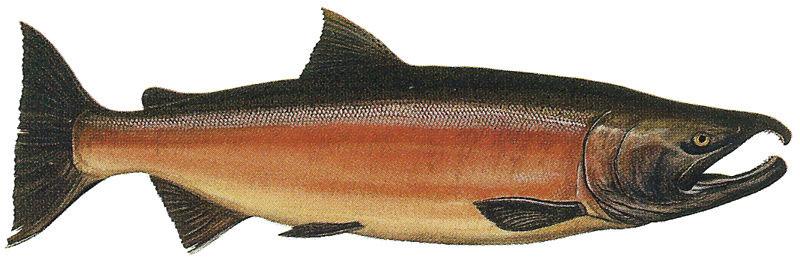 Techniques River Steelhead Columbia Fishing