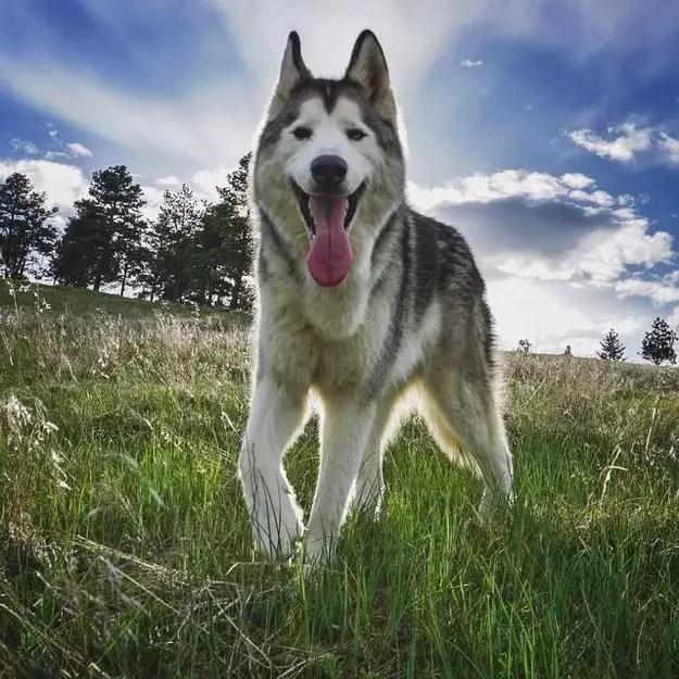 Wolfdog Lokis Breathtaking Adventures Will Lift Your Spirit  Critical Cactus