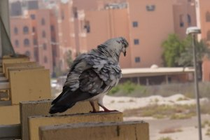 Sony-α7R-IV-Camera-100percent-cropped-image-from-actual-image-Pigeon