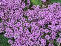 Creeping Thyme Magic Carpet | www.pixshark.com - Images ...