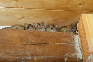 Gainesville Rodents