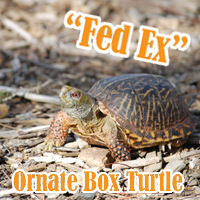 Box_Turtle