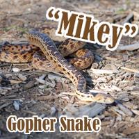 Gopher_Snake