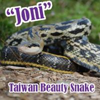 Taiwan_Beauty_Snake
