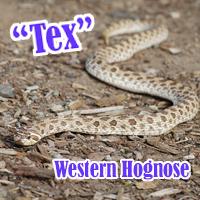 Western_Hognose