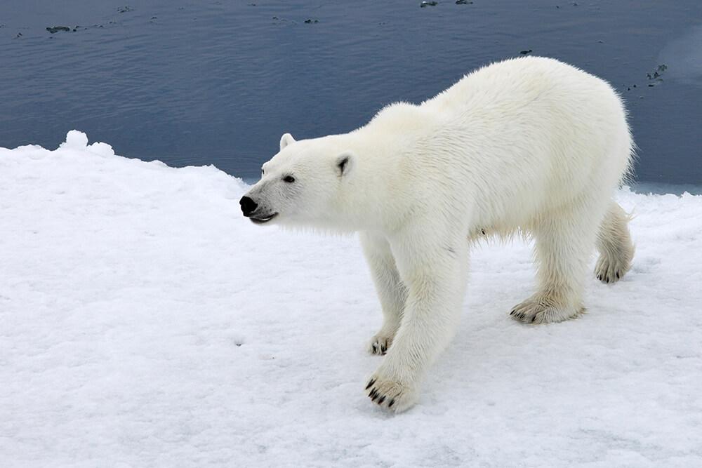 polar bear water snow