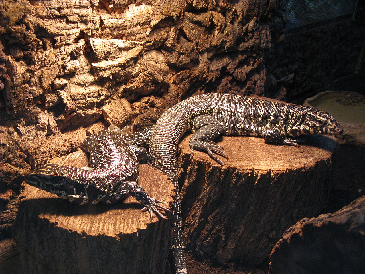 Tegu Talk 101 - Critter Squad Wildlife Defenders | Petting Zoo Party