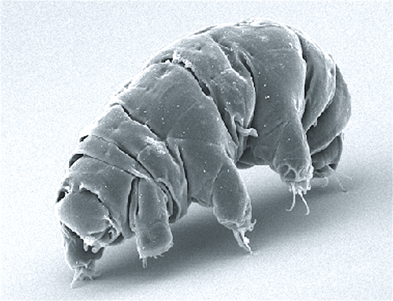 px SEM image of Milnesium tardigradum in active state journal pone  g