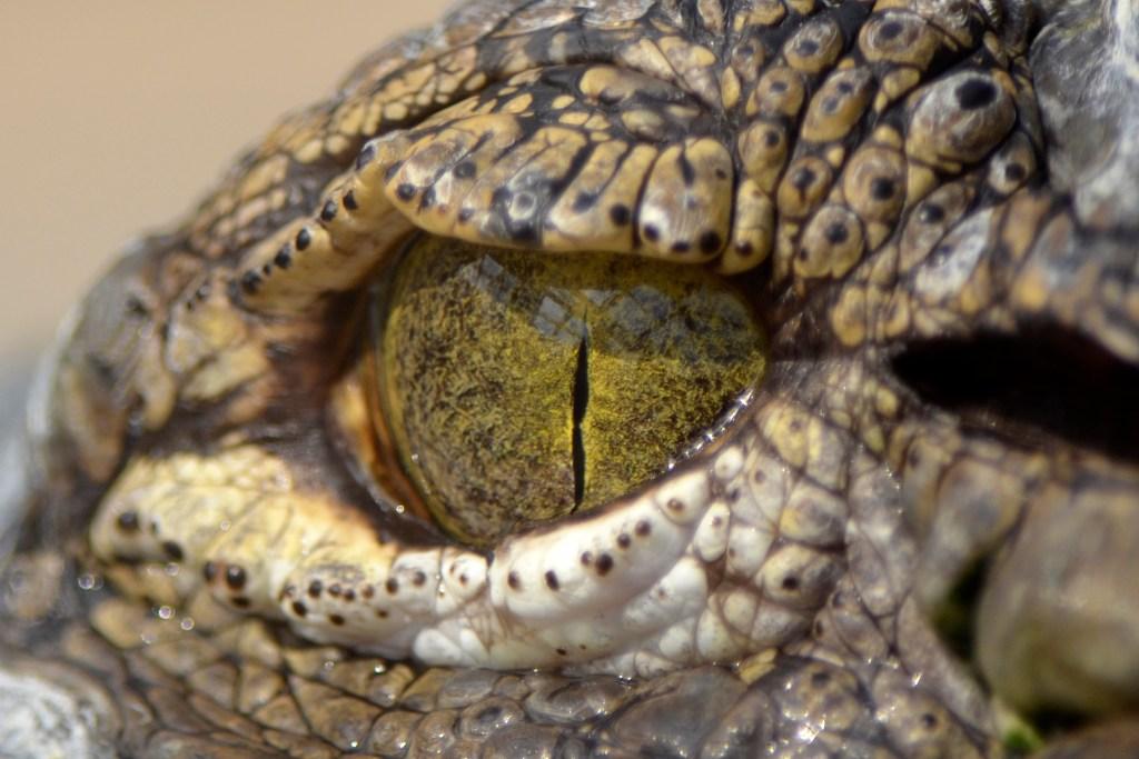 A crocodiles eye ()
