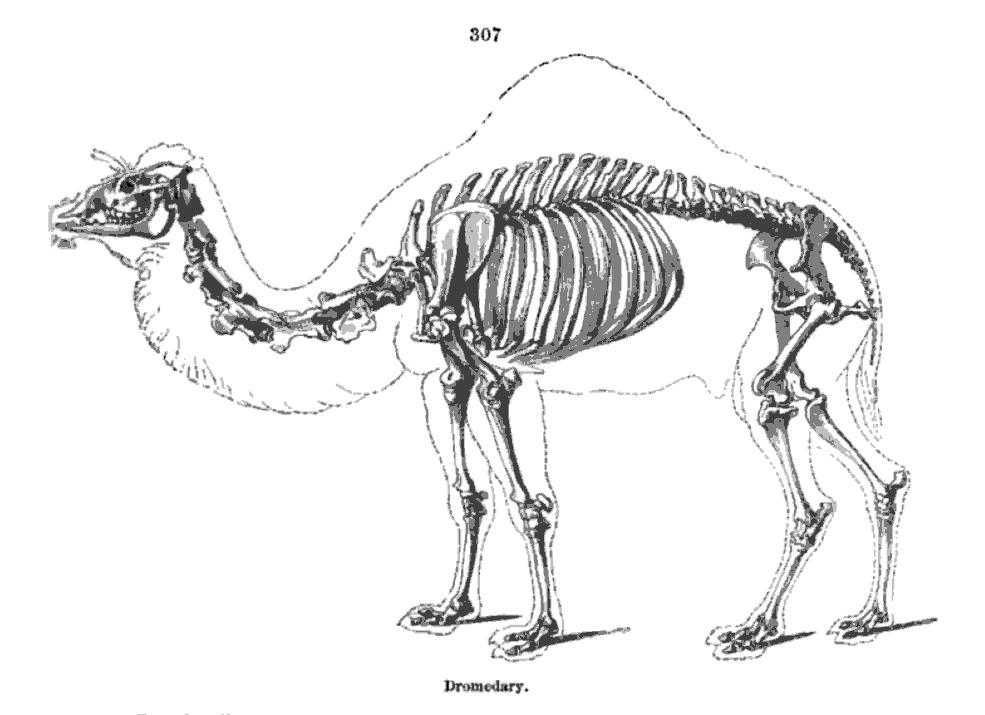 Camel Skeleton Richard Owen On the Anatomy of Vertebrates ()