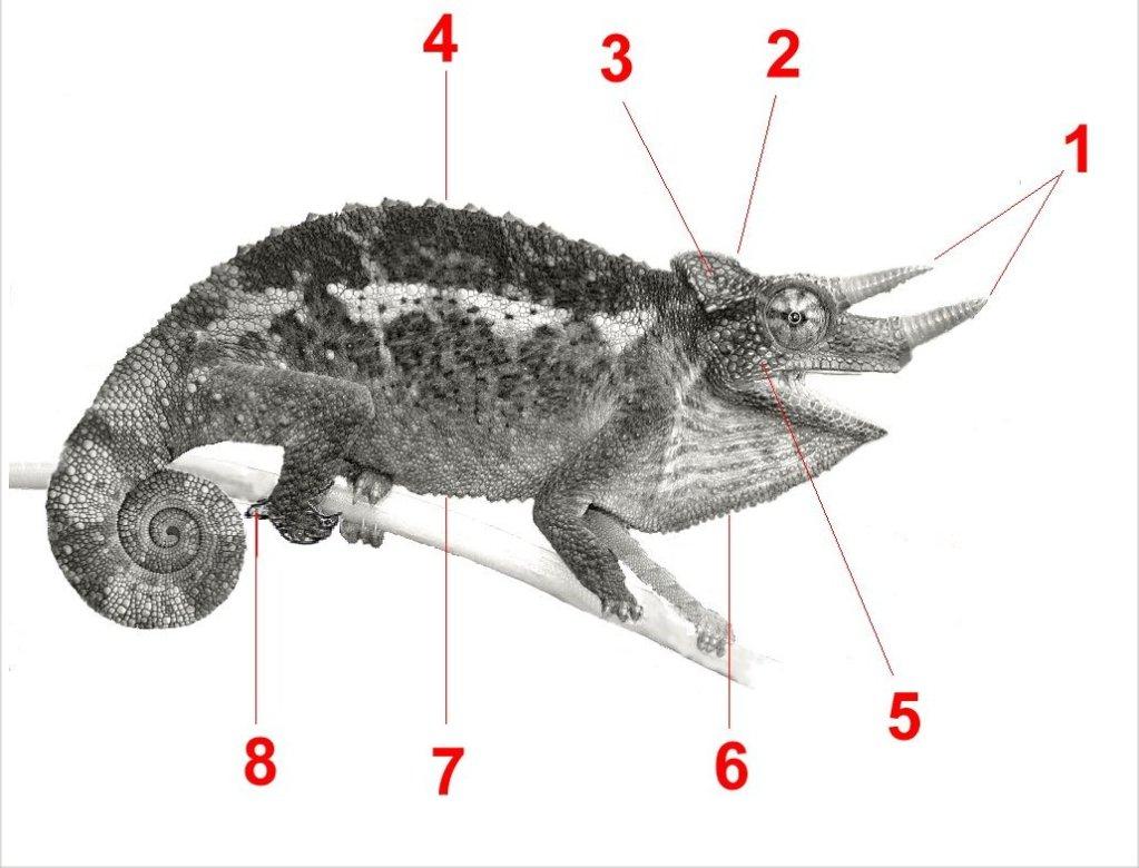 Chamaeleonidae anatomy