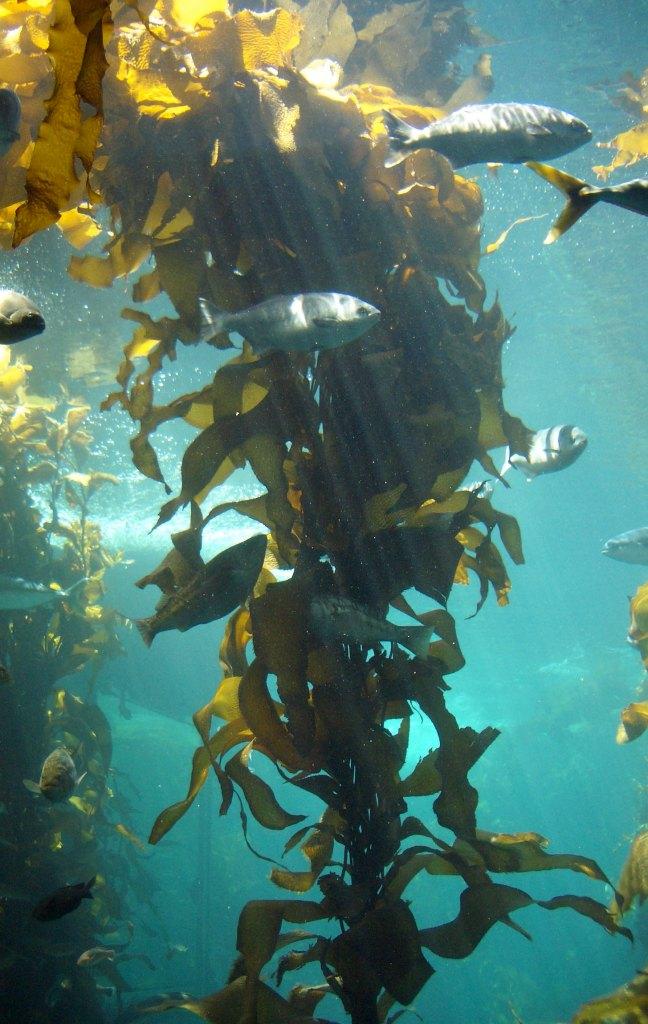 Kelp forest Monterey