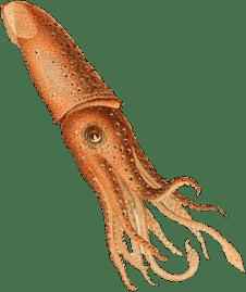 Squid transparent
