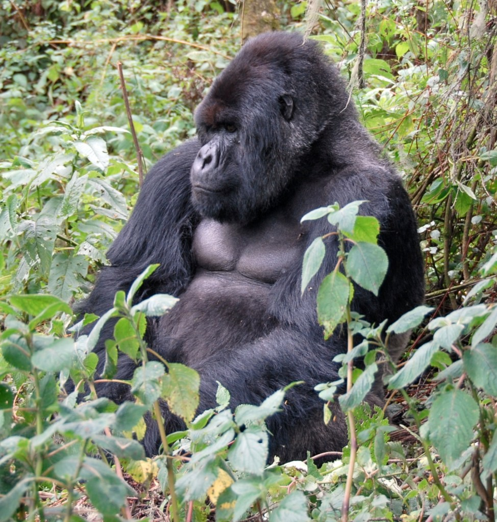 Susa group, mountain gorilla