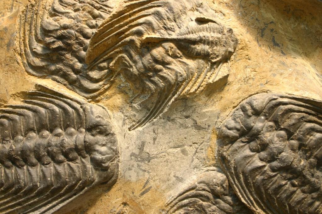 Trilobite Selenopeltis buchii