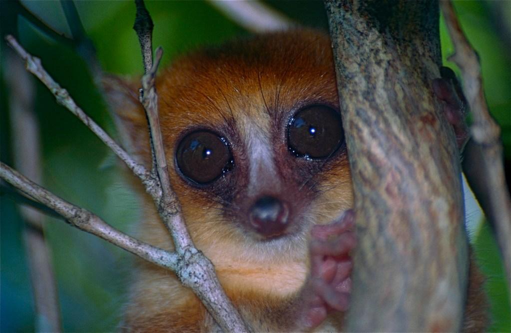 Brown Mouse Lemur (Microcebus rufus) ()