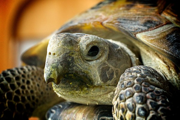 Russian Tortoise Fact Sheet