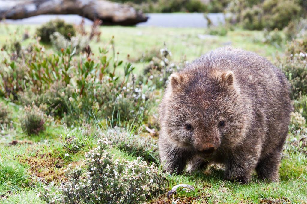 Grazing Wombat