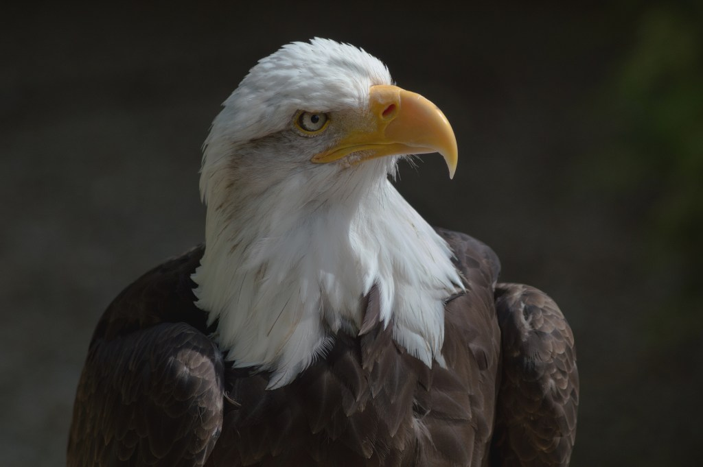 Bald eagle at the Hawk Conservancy Trust