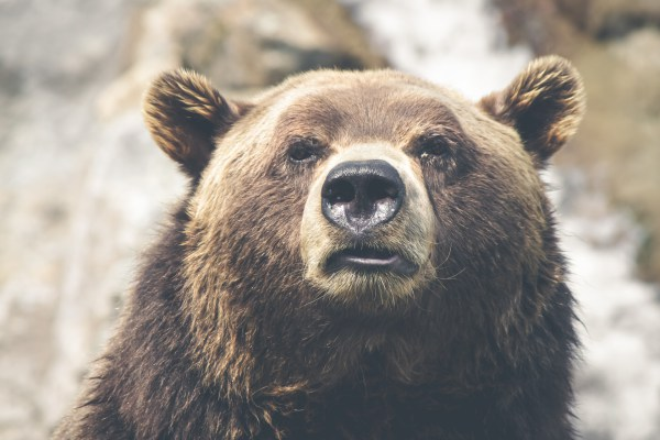 Brown Bear Fact Sheet
