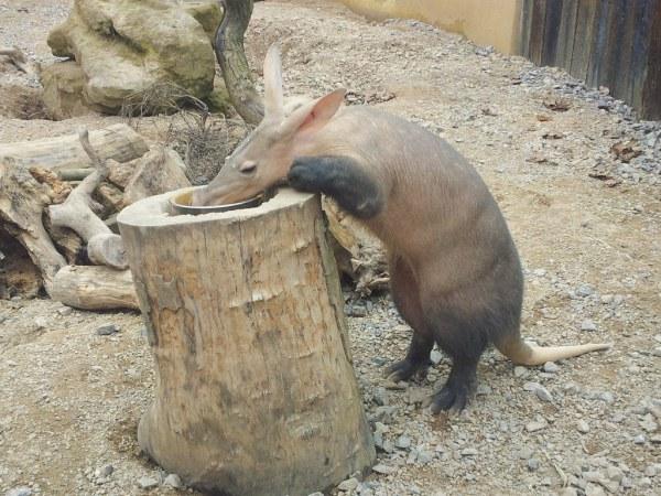 Aardvark Fact Sheet