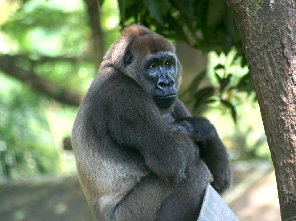 Cross River Gorilla Gorilla gorilla diehli)