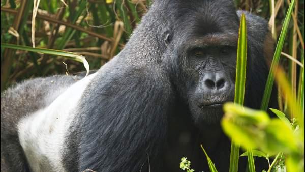 Eastern Lowland Gorilla Fact Sheet