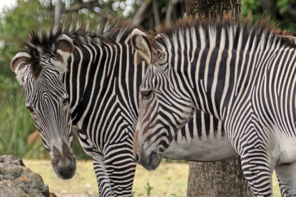 Grevys Zebra Fact Sheet