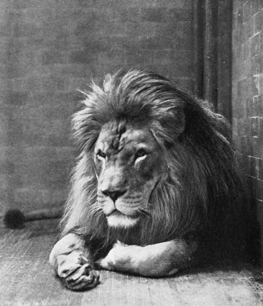 Sultan the Barbary Lion