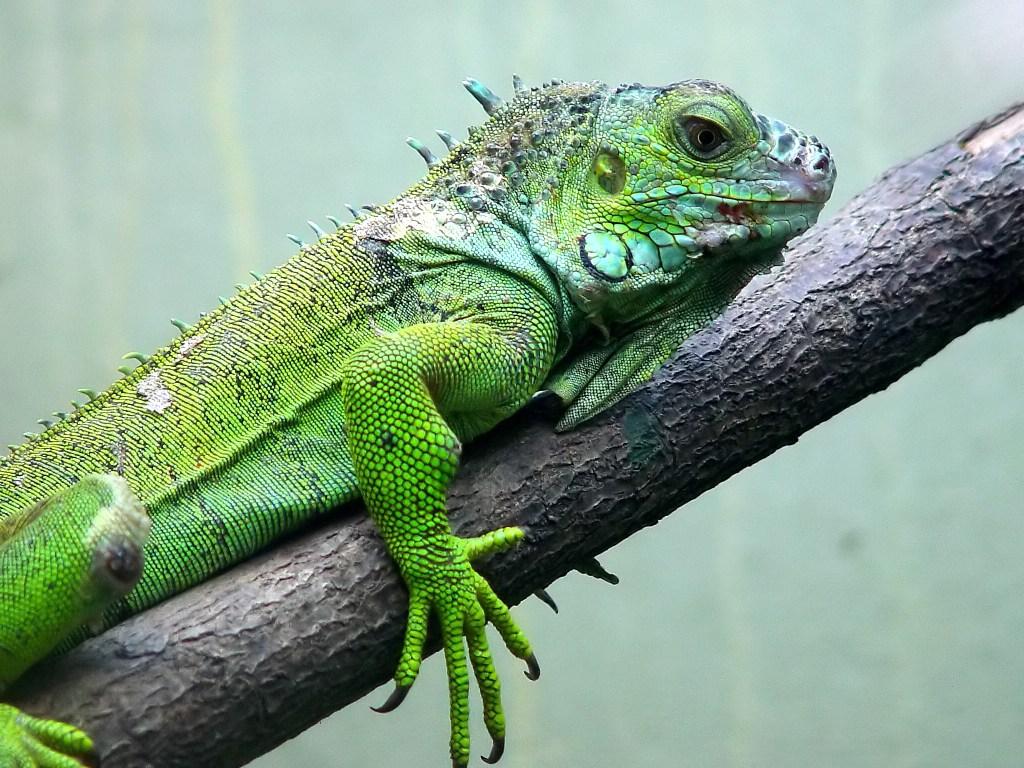 Darica Iguana