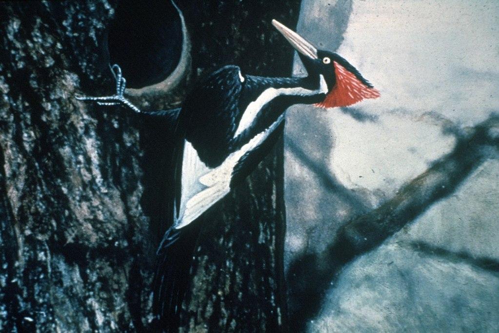 px Ivory billed Woodpecker by Jerry A Payne