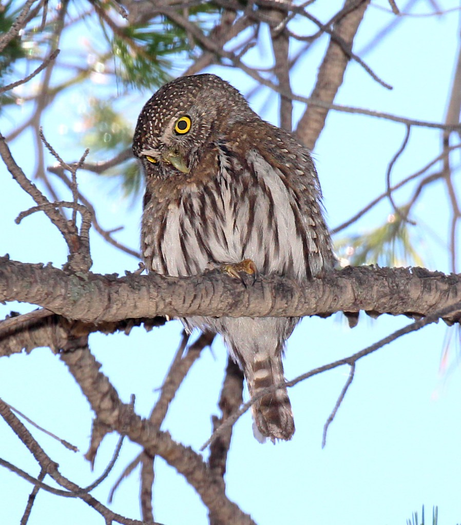 NORTHERN PYGMY OWL (  ) humboldt cyn, santa cruz co, az  ()