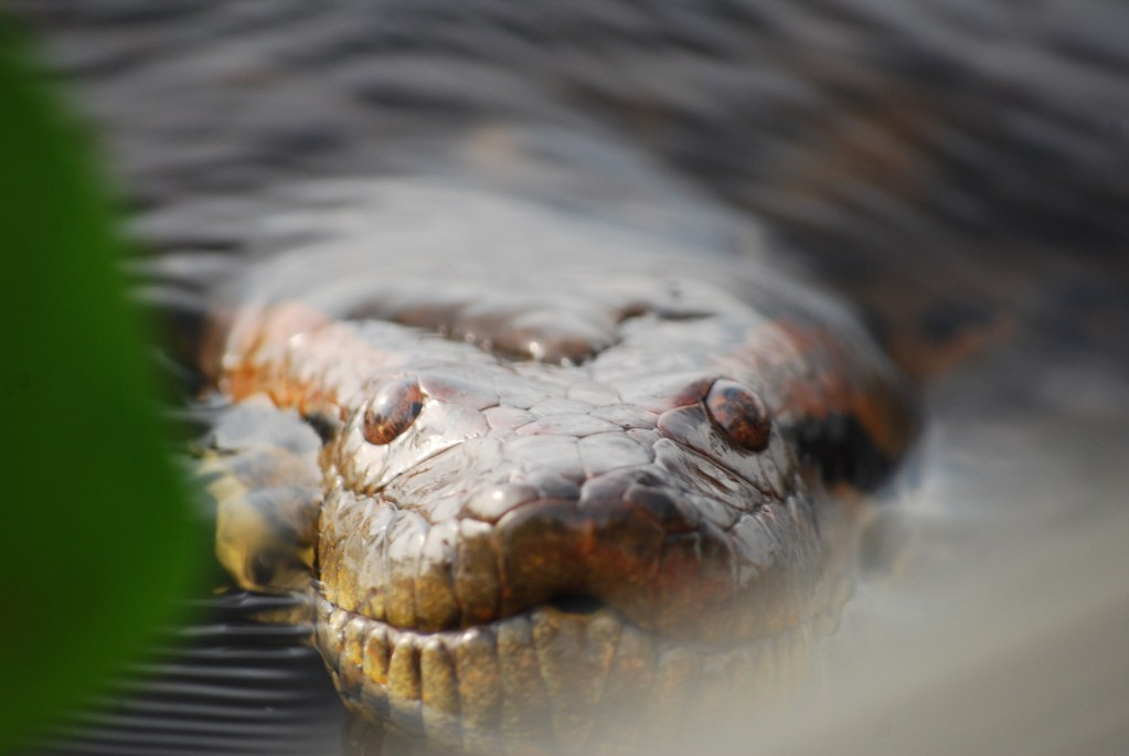 Anaconda al acecho