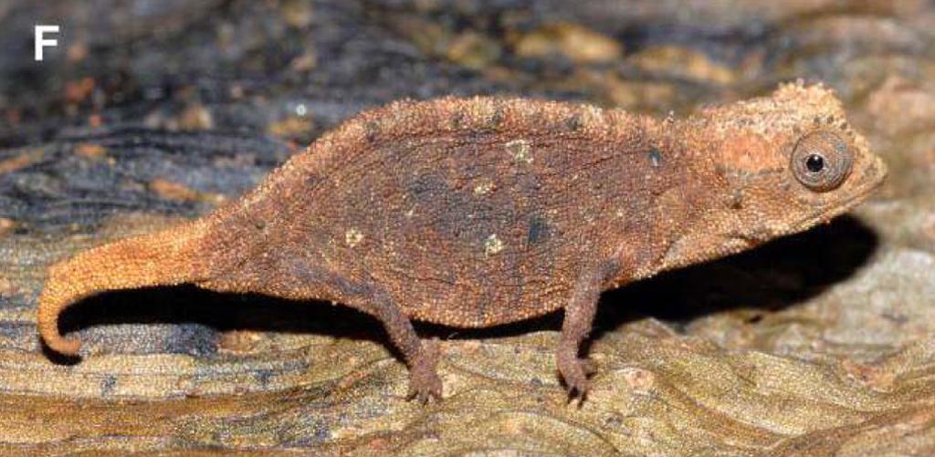 Brookesia micra female