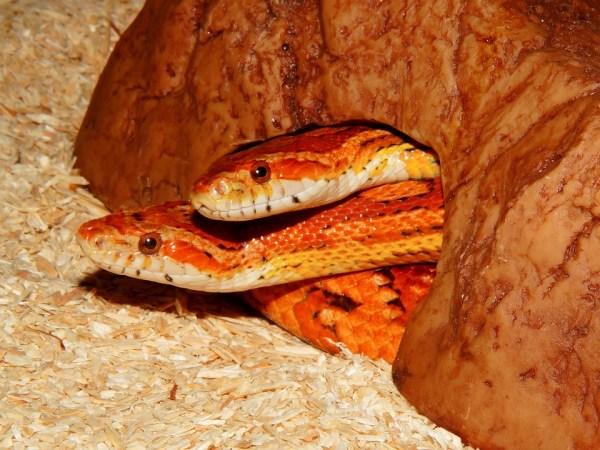 Corn Snake Fact Sheet